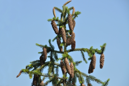 Needle leaf pine tree and blue sky photo