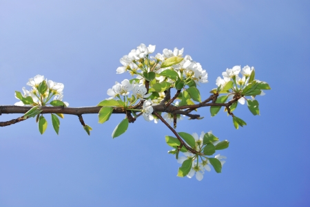 Pear tree blossoms and blue sky in spring photo