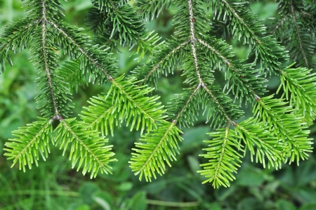 tropical evergreen forest: Needle leaf pine tree in its natural environment
