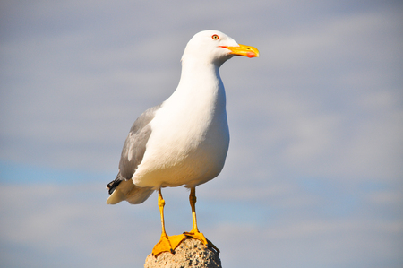 webbed feet: White seagull rests on a small rock