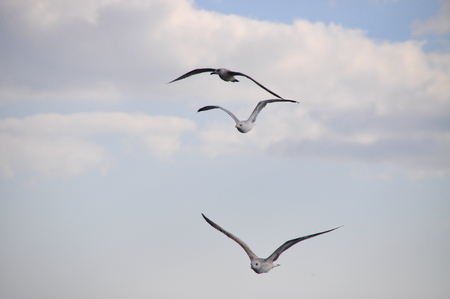 webbed feet: White seagulls flying freely in the air Stock Photo
