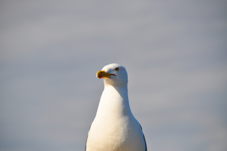 webbed feet: Very close-up of a white seagull Stock Photo