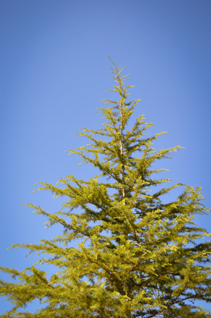 Needle leaf pine tree in its natural environment