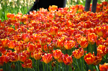 Tulips begin to grow in the months of march and april