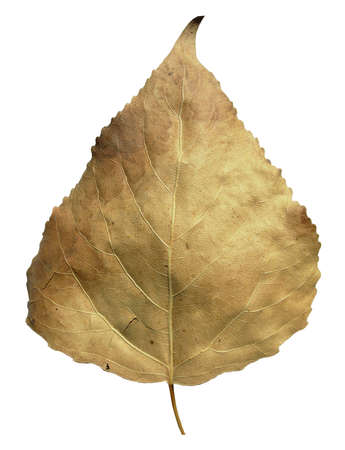 Poplar brown autumn leaf, autumn leaf of plane tree different colors, isolated on white background