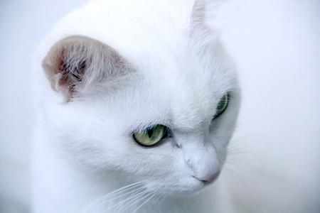 sharp-eyed white cat looking carefully Stock Photo - 10478273