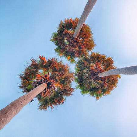 Three high palm trees shot from below on sunset sky background photo