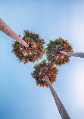 three palm trees: Three high palm trees shot from below on sunset sky background Stock Photo