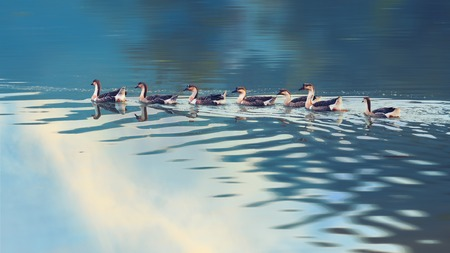 Swan goose flock reflecting in the lake photo