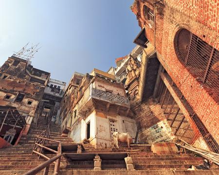 god's cow: Holy Varanasi, the city of death, India