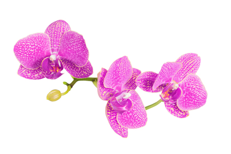 blooming purple: orchid flowers branch isolated on white background Stock Photo