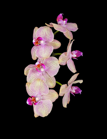 pink orchid flower isolated on black background photo