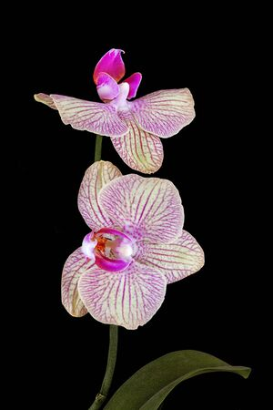 pink orchid flower with stem and leaves isolated on black background photo