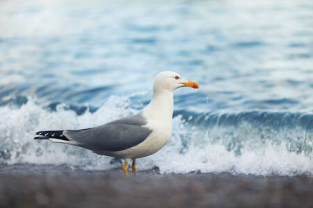 bipedal: huge white seagull standing on the beach