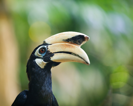 casque: Huge hornbill bird with yellow bill in natural environment