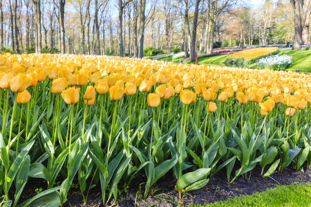 Colorful tulips of Netherlands