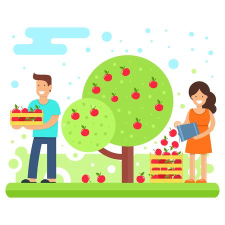 행복한 가족이 사과 작물을 수집합니다.