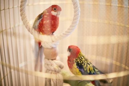 Rosy Faced Lovebird in a cage looking down at the camera