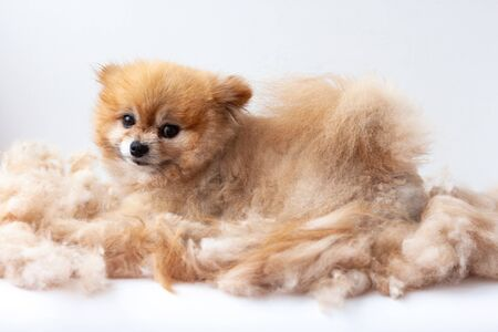 A small Pomeranian dog lies in a pile of shorn wool