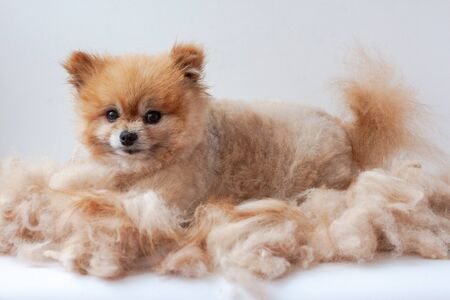 In a pile of shorn wool lies a small Pomeranian and raised his ears up dog grooming Stok Fotoğraf
