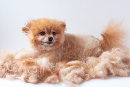 In a pile of shorn wool lies a small Pomeranian and looks at the camera dog grooming.