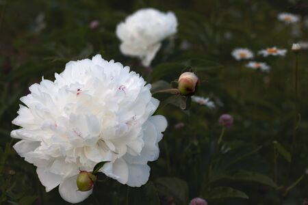 Lush white peony flowers and unopened buds against the dark green foliage