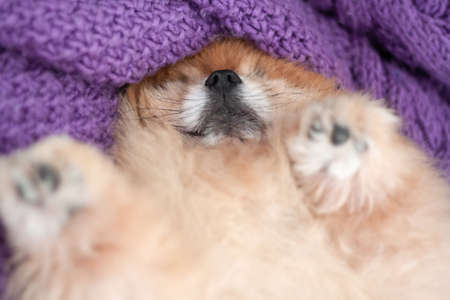 A small orange Pomeranian lies on its back on a knitted pillow and sleeps, its small nose is visible selective focus.