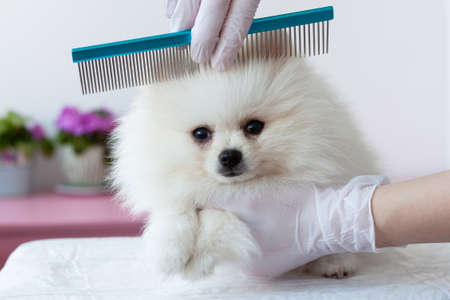 A white furry Pomeranian pup is combed by a grummer with a blue comb with hands in medical gloves, the pup is turned in front