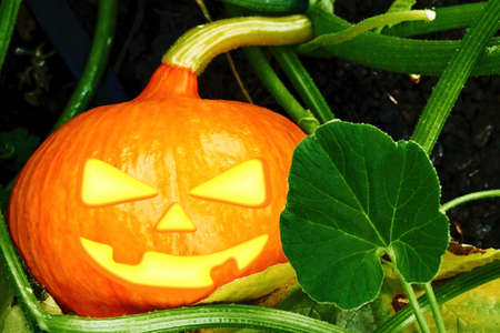 Scary orange pumpkin for Halloween grew up in the backyard garden. Holidays symbols and spooky faces.
