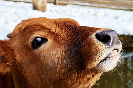 Young brown calf head smiling with teeth and big nose. Cattle and domestic mammals Stock Photo