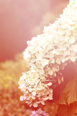 Hydrangea flowers in the warm pink sunset light. Romance of a blooming garden. Zdjęcie Seryjne - 132069178