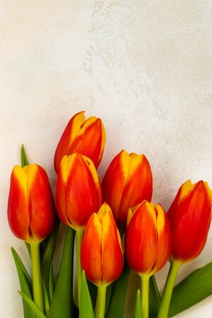 Tulips with red and yellow petals and juicy green leaves on a light textured background