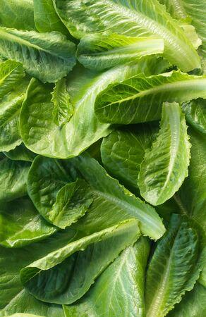Food background: fresh green Romano lettuce leaves Zdjęcie Seryjne