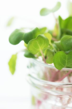 Fresh micro-greens grown at home. Close up. The vertical format.