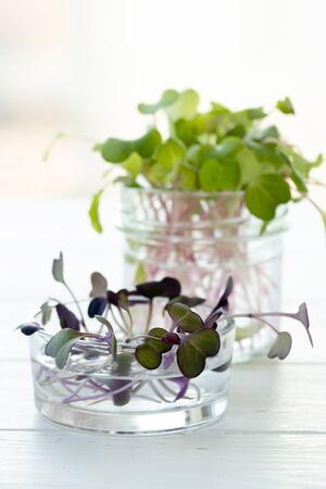 Micro-greens in glass jars on the windowsill. Vertical format.
