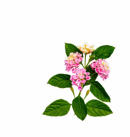 lantana: Lantana camara L.   pink flower isolated on white background