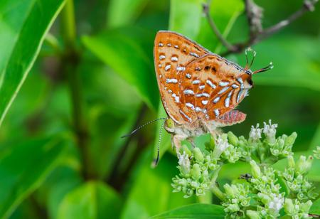 silverline: Aberrant Silverline, beautiful rare butterfly in Thailand