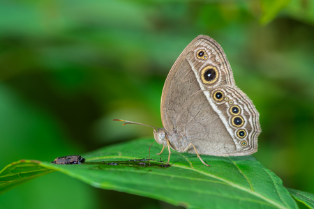 Intermedia Bushbrown(Mycalesis intermedia), brown butterfly on branch Stock Photo