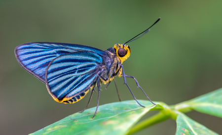 entomology: Green-striped Palmer(Pirdana hyela rudolphii), Blue butterfly of Thailand on Leaves