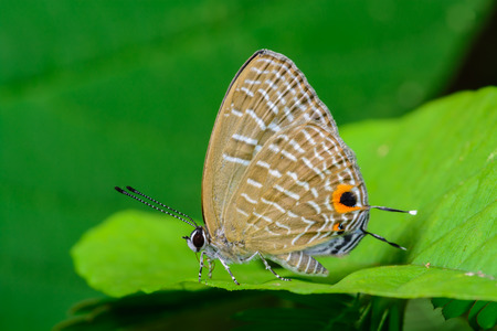 cerulean: Metallic Cerulean, the brown butterfly on green Leaves