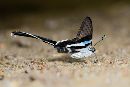 Green Dragontail(Lamproptera meges),the beautiful Papilionidae on sand Stock Photo