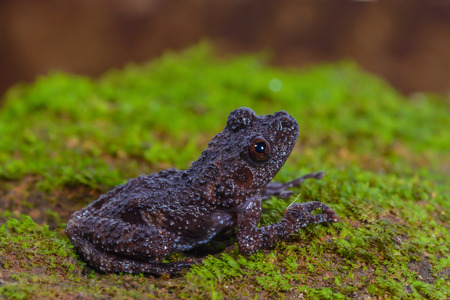 lowland: Taylors Warted Tree Frog, The black frog in lowland,Thailand