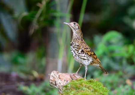 Whites Thrush(Zoothera aurea), The brown bird in garden