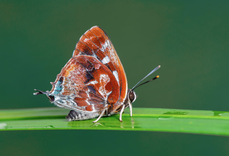 Silver-streak Blue(Iraota timoleon) , A Maroon butterfly on Leaves and green background