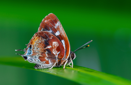 lycaenidae: Silver-streak Blue(Iraota timoleon) , A Maroon butterfly on Leaves and green background
