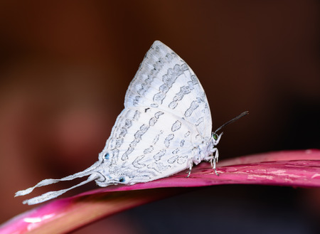 Great White-Imperial(Neomyrina nivea hiemalis), The white beauty butterfly  on Leaves Stock Photo
