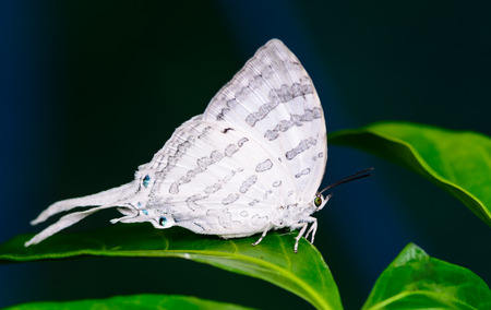 lycaenidae: Great White-Imperial(Neomyrina nivea hiemalis), The white beauty butterfly  on Leaves Stock Photo