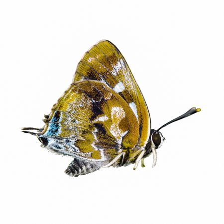 lycaenidae: beautiful  butterfly isolated on white background Stock Photo