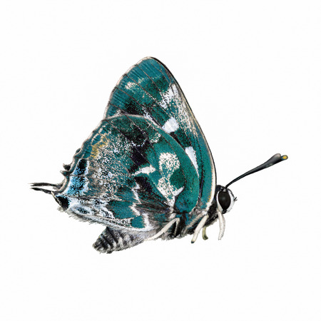 insecta: beautiful  butterfly isolated on white background Stock Photo