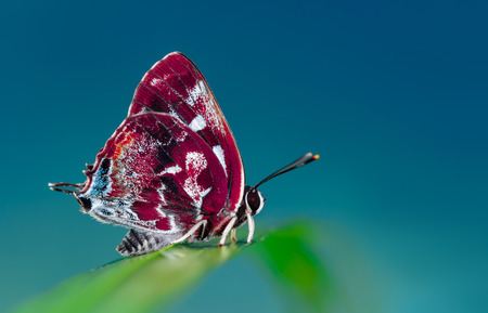 lycaenidae: beautiful  butterfly  on blue background Stock Photo